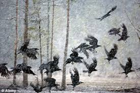 flock of crows in snow
